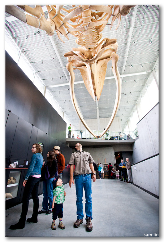 Beaty Museum Blue Whale Skeleton