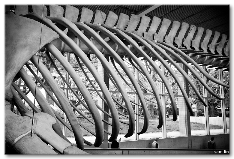 Blue Whale Skeleton Ribs