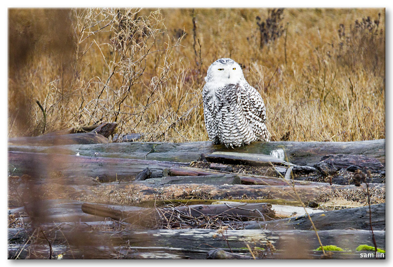 Boundary Bay Snowy Owls