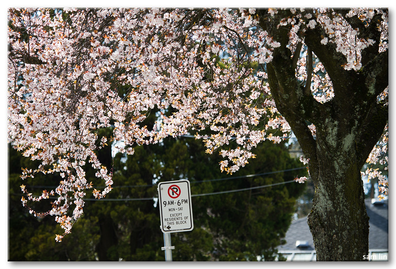 Flowering cherry photowalk
